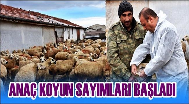BAHAR GELDİ AKSARAY'DA ANAÇ KOYUN SAYIMLARI BAŞLADI